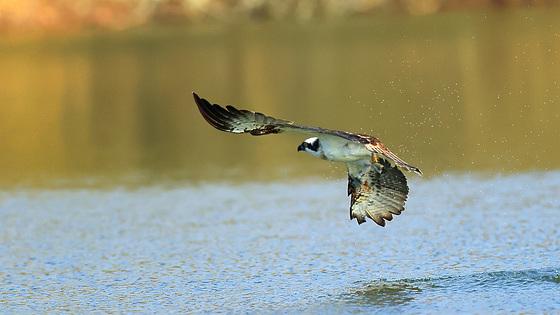 Balbuzard pêcheur photographié ce lundi...