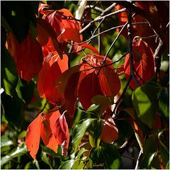 L' automne du micocoulier !
