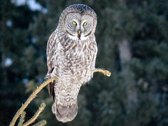 Great Gray Owl, highly zoomed