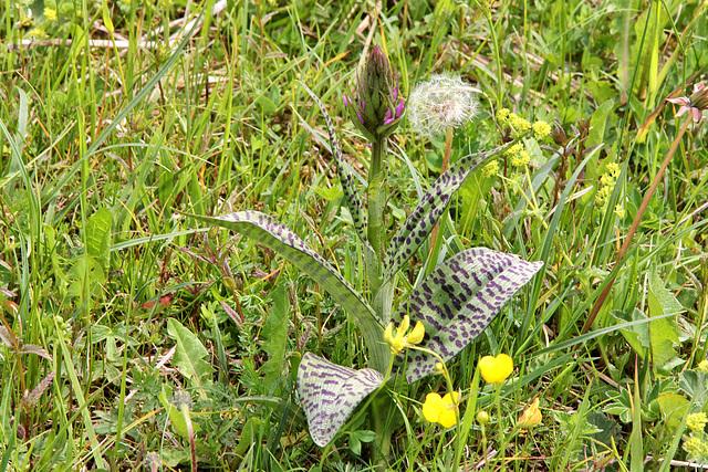 geflecktes Knabenkraut - Blütenknospe