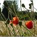 Papaveri- Poppies