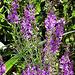 The purple loosestrife is abundant