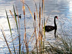 In Lake Rotoiti