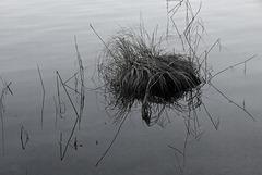 Grasbusch im See