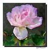 Une Rose ...