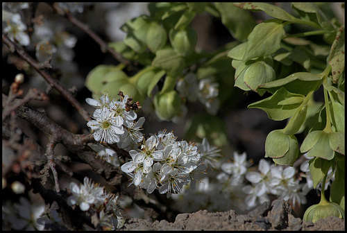 Prunus spinosa  (3)