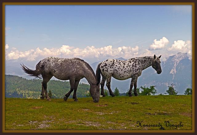 Noriker Pferd  /Pferde Rasse aus Kärnten At