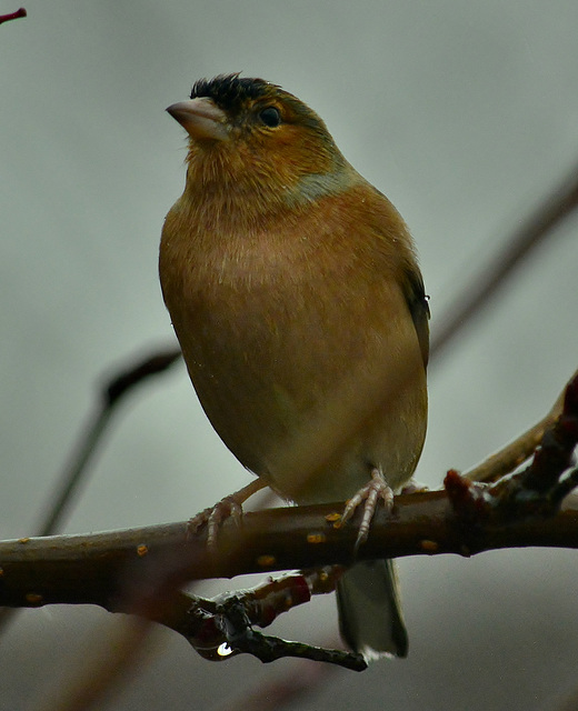 Cold and Wet. Chaffinch