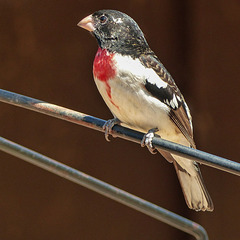 Rose-breasted Grosbeak, Rondeau PP