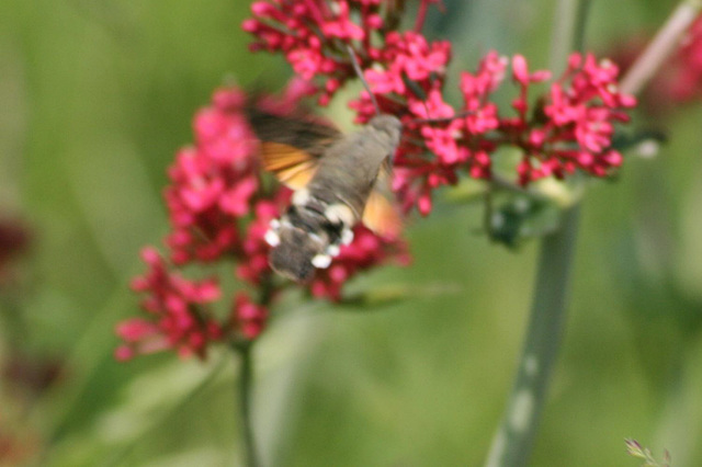 Hummungbird hawk moth (Macroglossum stellatarum) 01