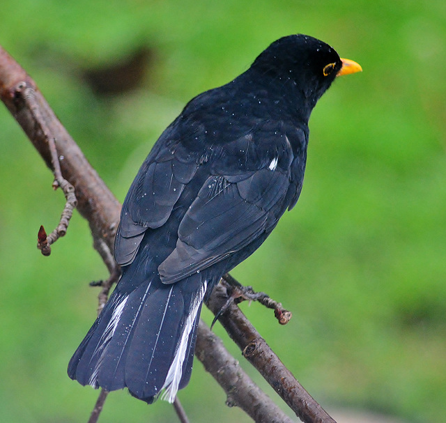 Cold and Wet. Blackbird
