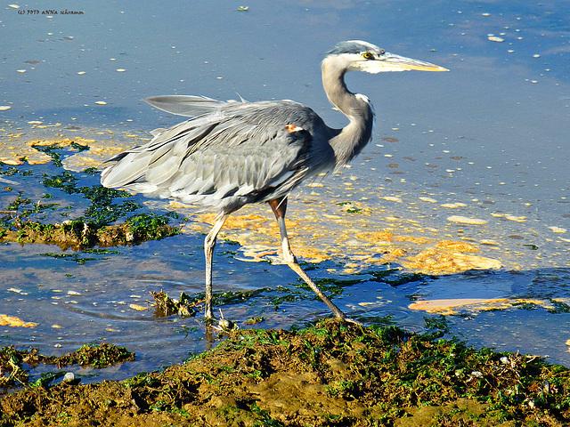 Great Blue Heron (Ardea herodias) ... (PiP)