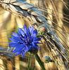 in a golden field
