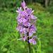 Dactylorhize tacheté = Dactylorhiza maculata, Samoëns, Haute-Savoie (France)