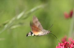 Hummungbird hawk moth (Macroglossum stellatarum) 03