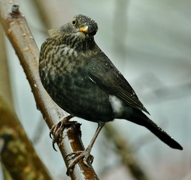 Cold and Wet. Blackbird