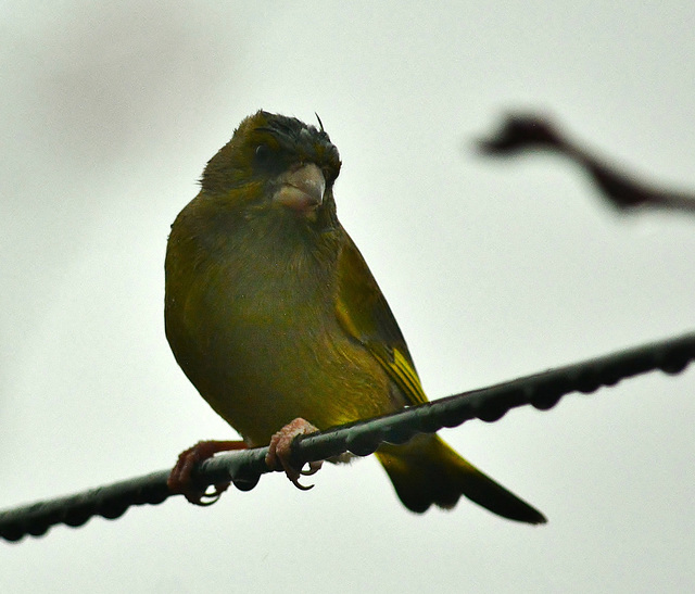 Cold and Wet. Greenfinch