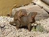 Dwarf Mongoose - 18 May 2017