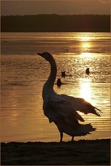 Dance of the Swan, 2...