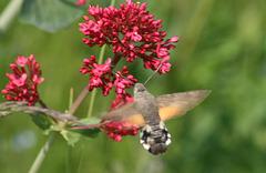 Hummungbird hawk moth (Macroglossum stellatarum) 05