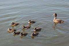"""(3) """"So, und jetzt schön  in Formation  weiterschwimmen."""""""