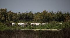 20150524 8159VRTw [F] Camargue-Pferde, Marais du Vigueirat, [Mas-Thibert] Camargue