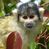 Black-capped Squirrel Monkey - 18 May 2017