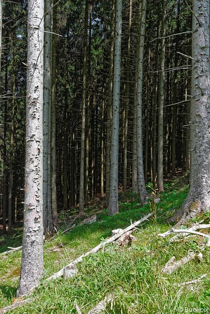Wald am Kronberg (© Buelipix)