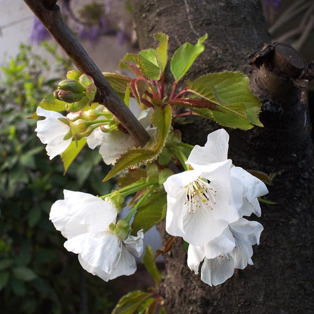 fleurs de cerisier, tronc