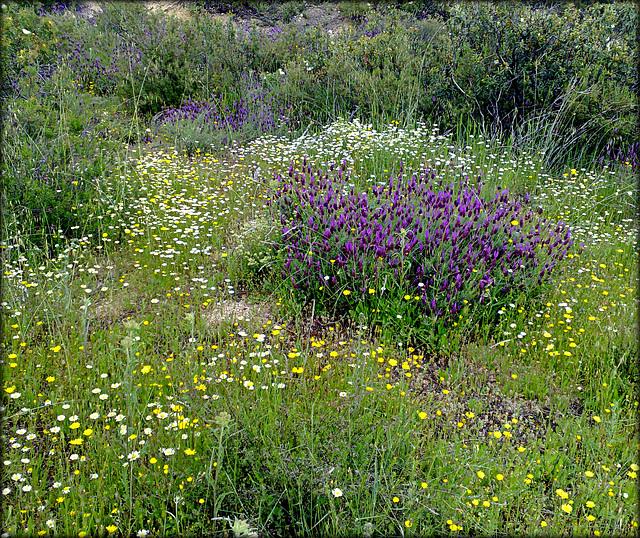 Spring flowers. Cantueso, Sierra de La Cabrera