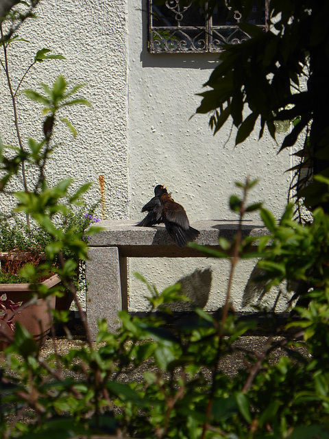 P1050078 Blackbird pair making use of the bench