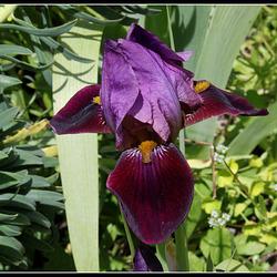 Iris Cameroun (2)