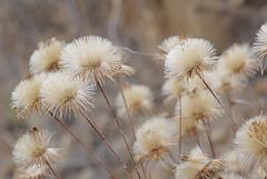 Phagnalon saxatile, Asteraceae