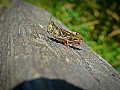 Rotbeinige Heuschrecke, Red-legged Grasshopper (Melanoplus femurrubrum)