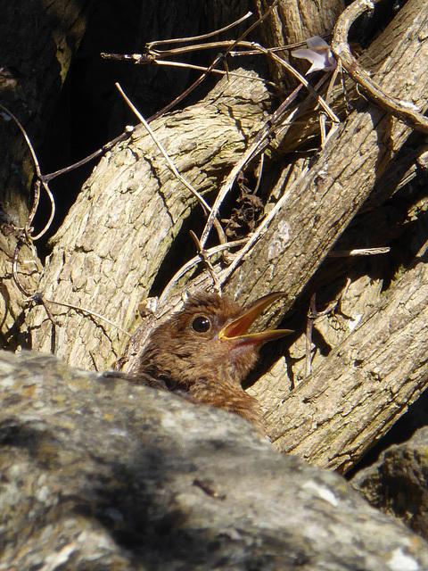 P1050088 Hen Blackbird sunbathing on the rockery