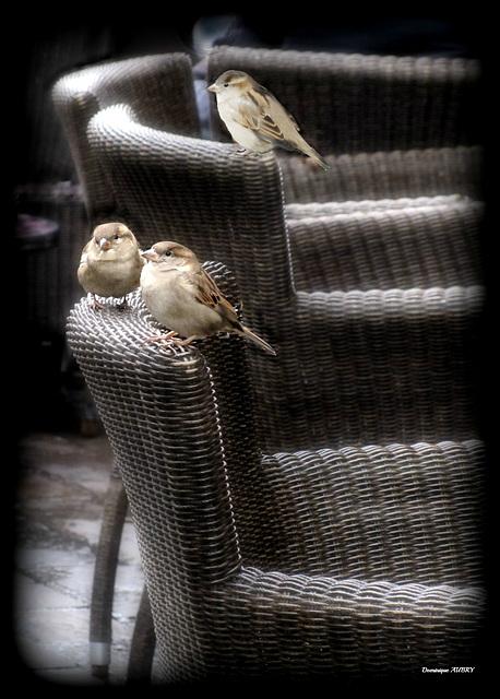 Piafs en terrasse
