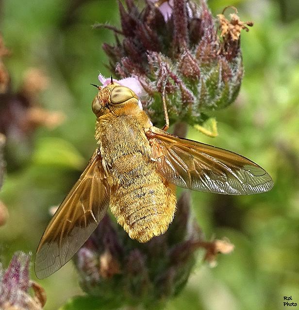 Une mouche de la famille  des syrphes