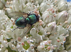 Greenbottle on leek flower.