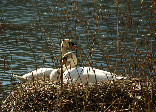 Nesting Swans - Forest of Dean