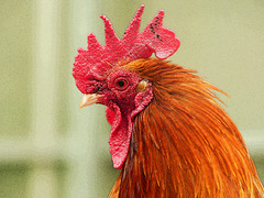 02 Rooster, Saskatoon Farm