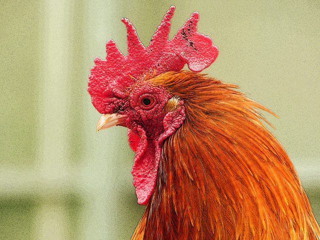 Rooster, Saskatoon Farm