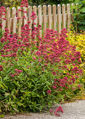 Red Valerian