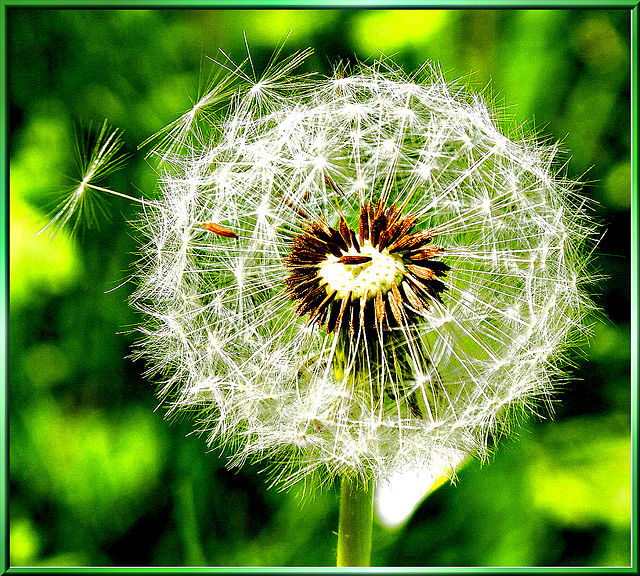Dandelion seeds ready to fly...  ©UdoSm