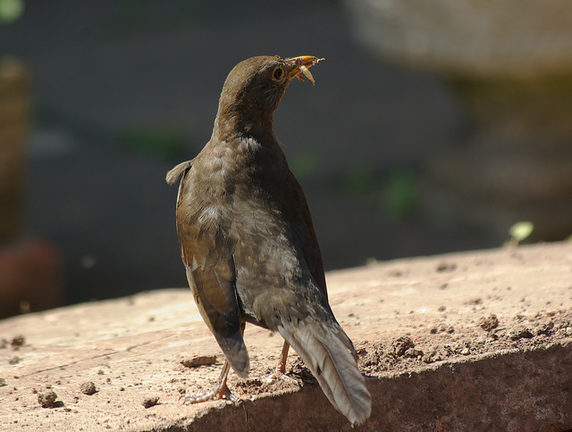 Blackbird Collecting Grubs