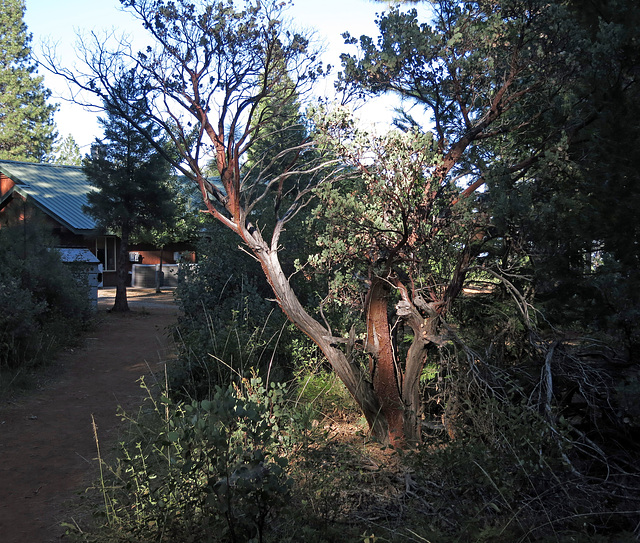 Manzanita (2969)