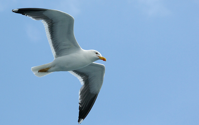 Lesser Black Back Gull in Flight - Farne Islands