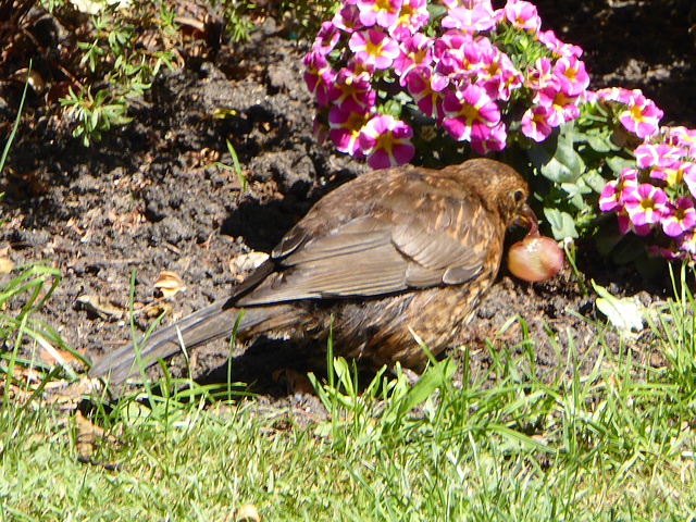 P1050108 Hen Blackbird peeling a grape