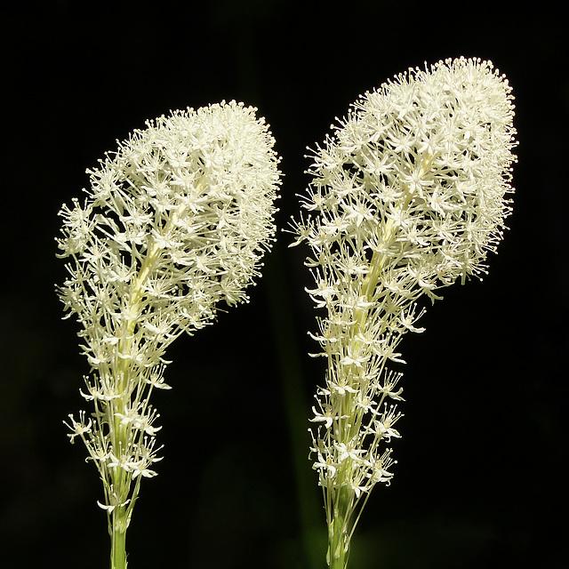 Memories of Waterton - Bear Grass