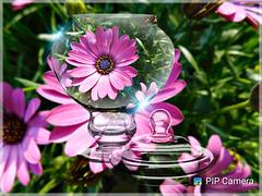 Composition,  d'une de mes photos, avec Pip caméra avec des fleurs d'Osteospermum ou marguerites africaines
