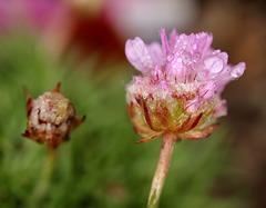 petite fleur de rocaille macro